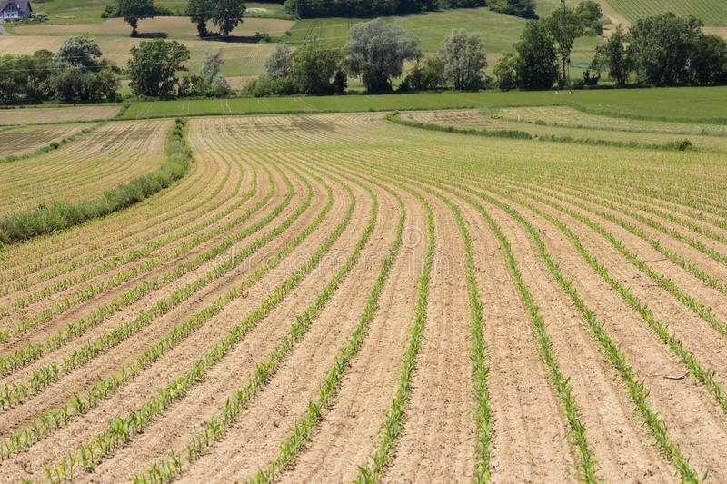 Field of corn, Styria, Austria. Farm, agriculture, green, landscape, nature, summer, spring, crop, rural, scene, growth, maize, farmland, young, agricultural stock photo