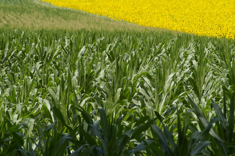 Download Field Corn With Sunflowers In The Background Stock Photo - Image: 11801380
