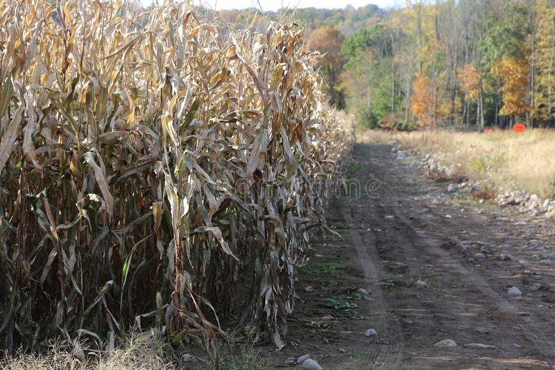 Autumn Cornfield. Field corn is used to feed livestock, make the renewable fuel ethanol and thousands of other bio-based products like carpet, make-up or aspirin royalty free stock image