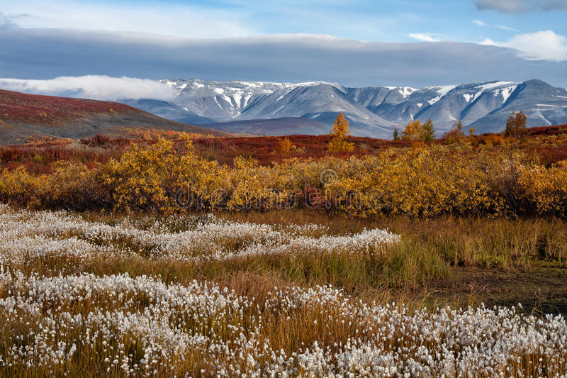 A field of cotton grass on a background of autumn mountains. Polar Urals. Russia stock images