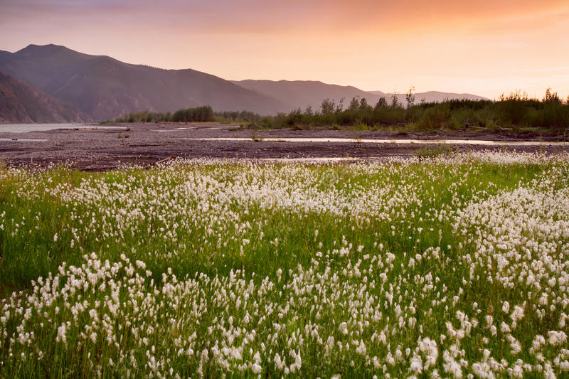 Field of cotton grass on a background of mountains in sunset light. The River Moma. Yakutia. Russia stock image