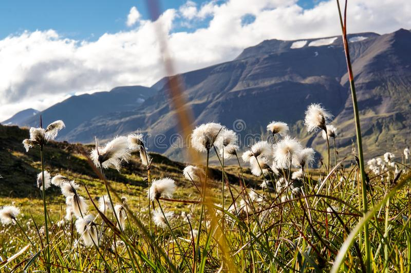 Field of cotton grass in iceland. Field of cotton grass in a valley surrounded by mountains in the near of Akureyri and Sulur, Iceland stock image