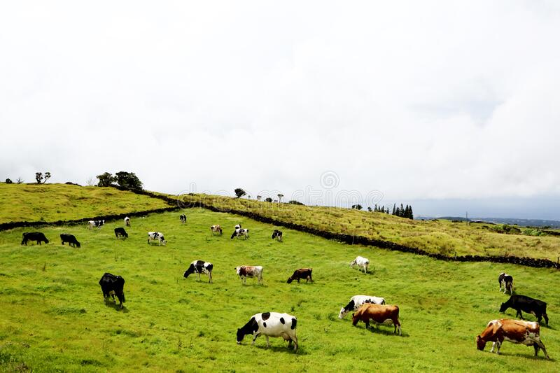 Field Of Cows royalty free stock photos