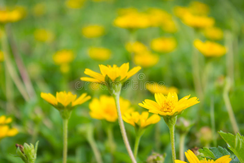 Field of creeping daisy (singapore daisy). Field of beautiful creeping daisy (singapore daisy royalty free stock image