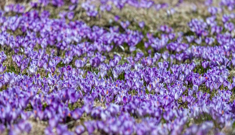 Field of crocus flowers can be background royalty free stock photo