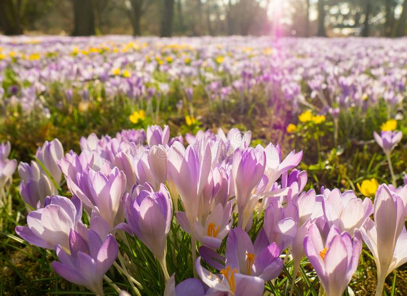 Violet Flowers at the Flora in Cologne, Germany. This field of crocuses are the first blossoming plants in spring and a highlight when visiting Cologne in royalty free stock image