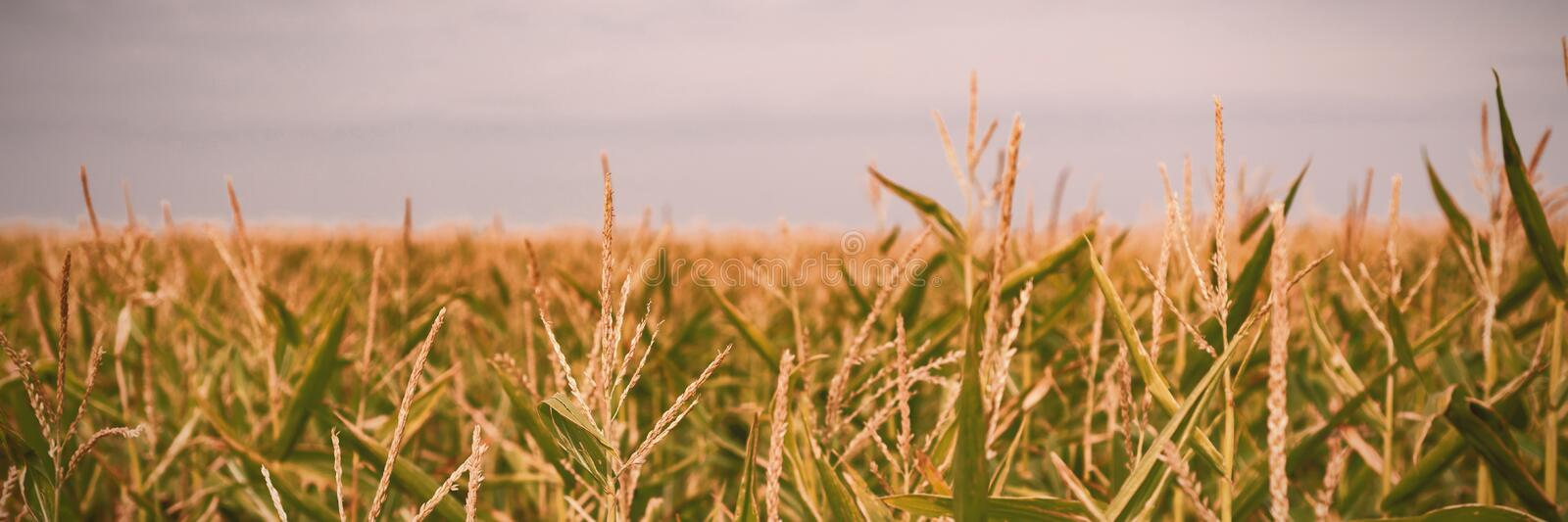 Field crops on a sunny day. Beautiful field crops on a sunny day royalty free stock image