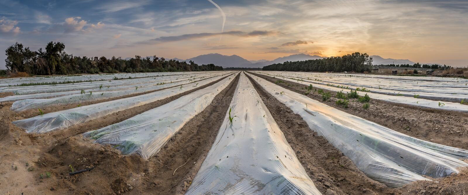 Field with cultured seeds in desert areas of the Middle East. Panoramic view on field with cultured seeds and young plants of corn covered by plastic film stock photography
