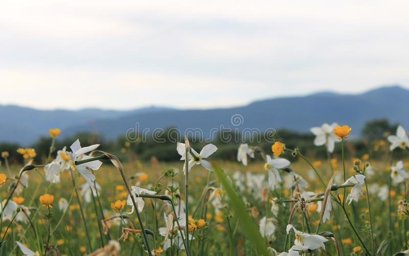 A field of daffodils in the Carpathians.  royalty free stock photography