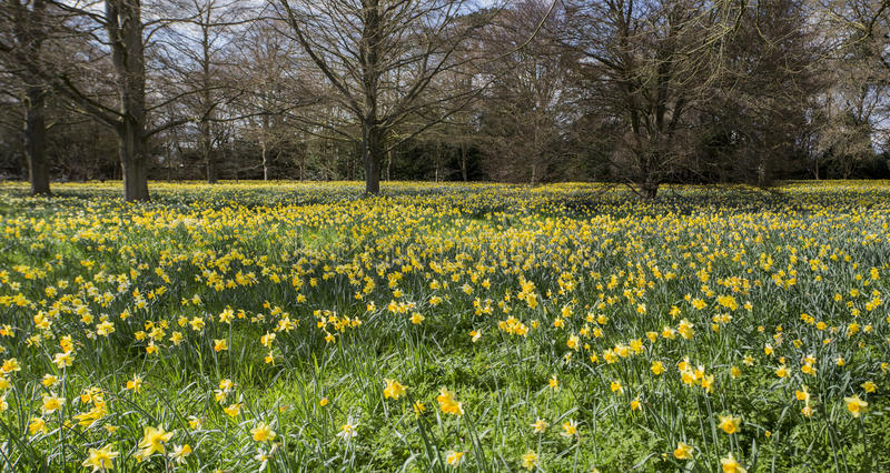 A field of Daffodils stock image