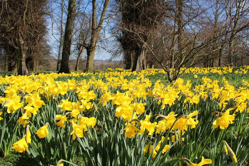 A field of daffodils in the sun. A field of wonderful yellow daffodils in the sun with green stems and trees and blue sky in the background royalty free stock images