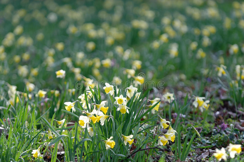 Field of daffodils. By a sunny spring day stock photos