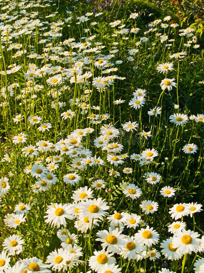 Download Field of Daisies stock photo. Image of background, meadow - 12776476