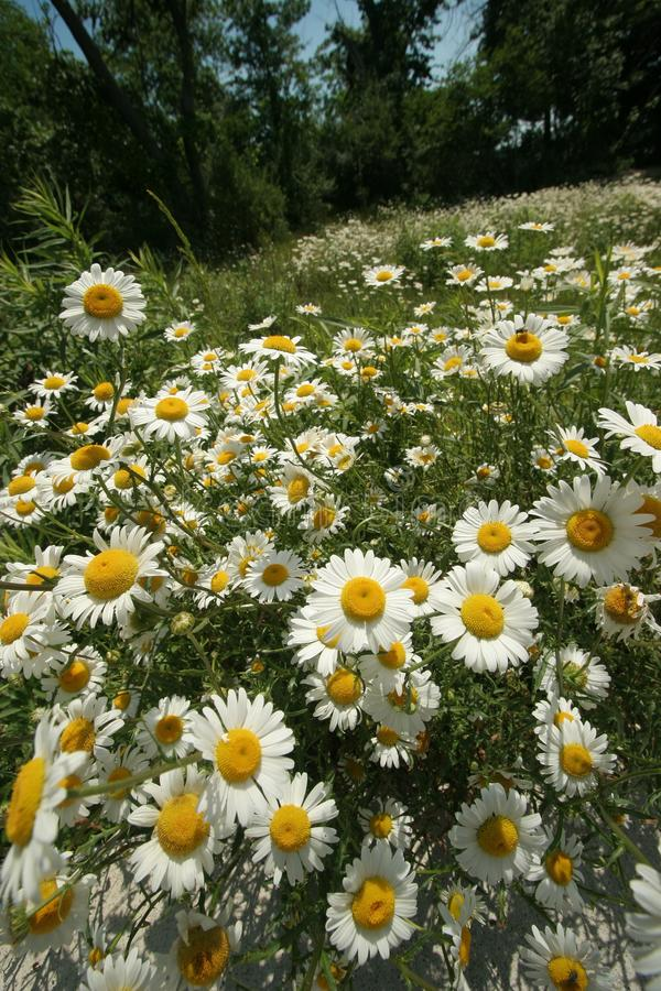 Download Field Of Daisies Royalty Free Stock Photography - Image: 13303497