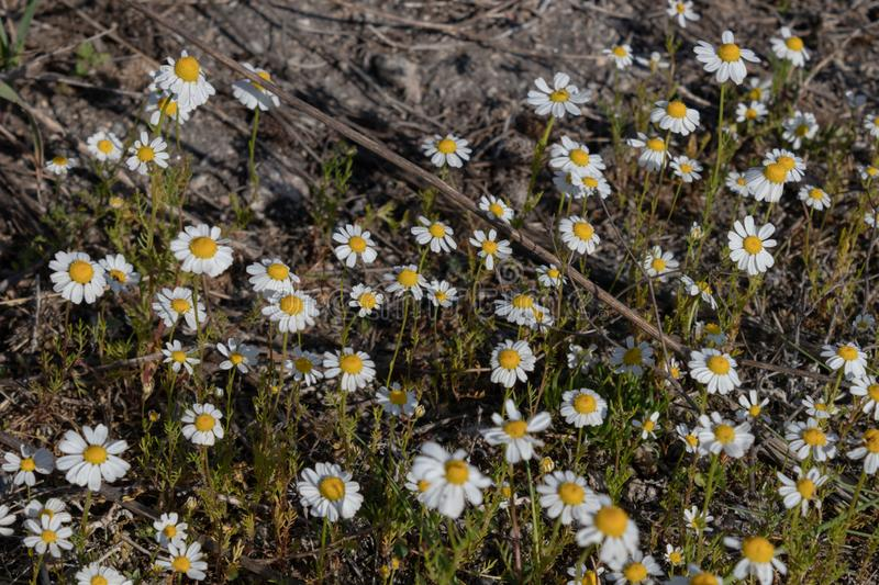 Field daisies grow densely in a clearing with dry land and last year`s grass.  royalty free stock photography