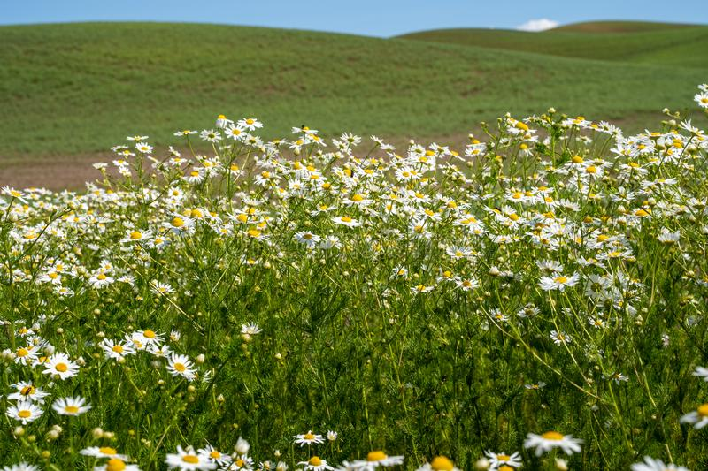 Field of daisies in the Palouse region of Washington State USA during summer.  stock photo