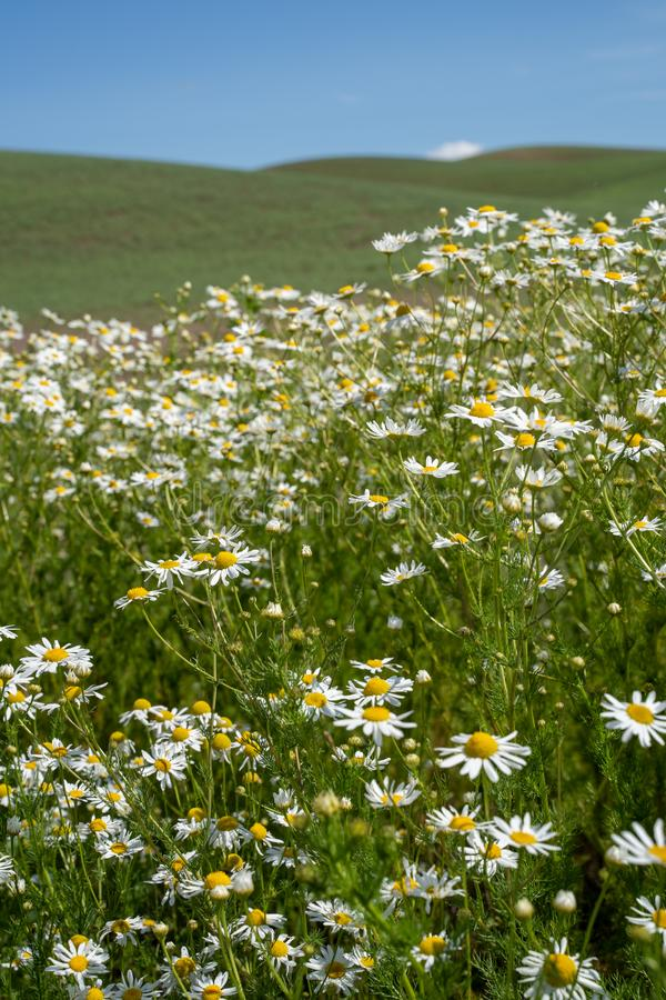 Field of daisies in the Palouse region of Washington State USA during summer.  royalty free stock photos