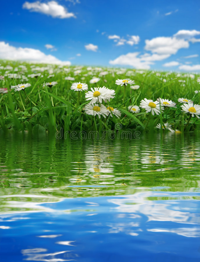 Field with daisies reflecting royalty free stock photos