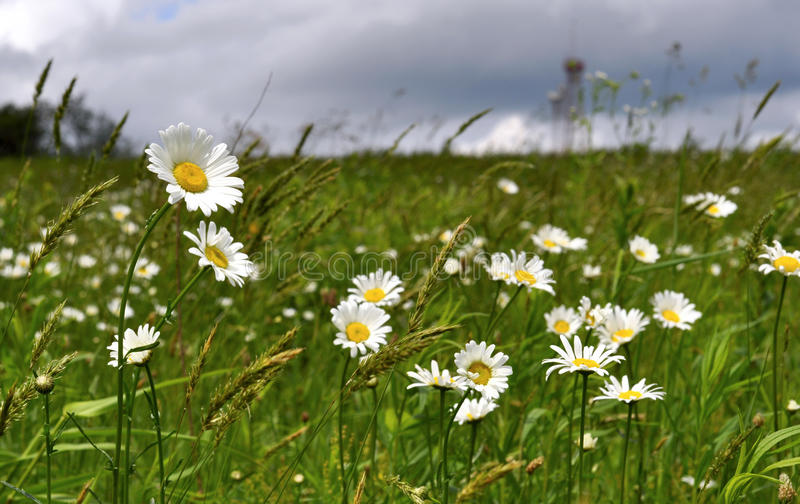 Field of Daisies. In summer stock photos