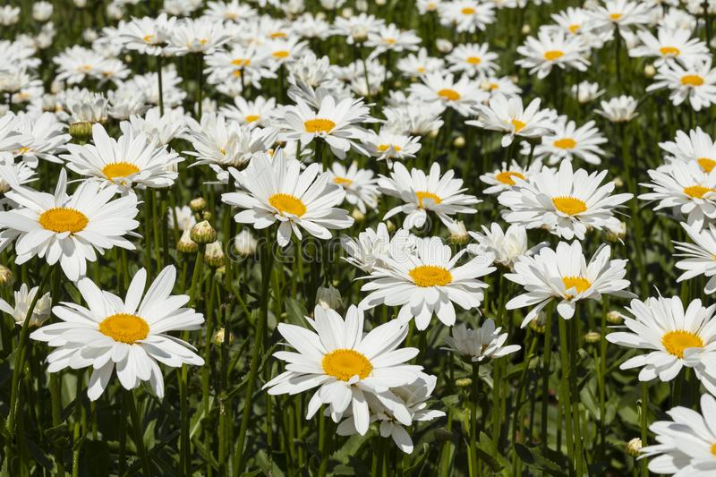 Field of daisies on a sunny summer day stock images