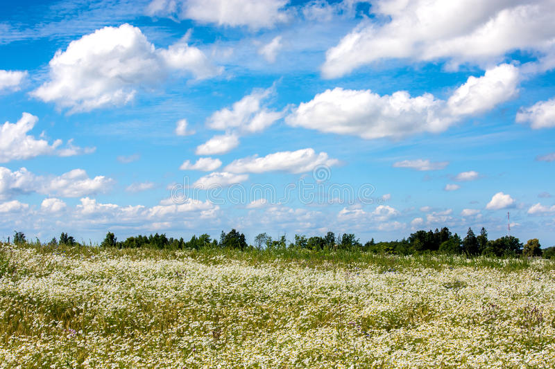 Field of daisy royalty free stock photos