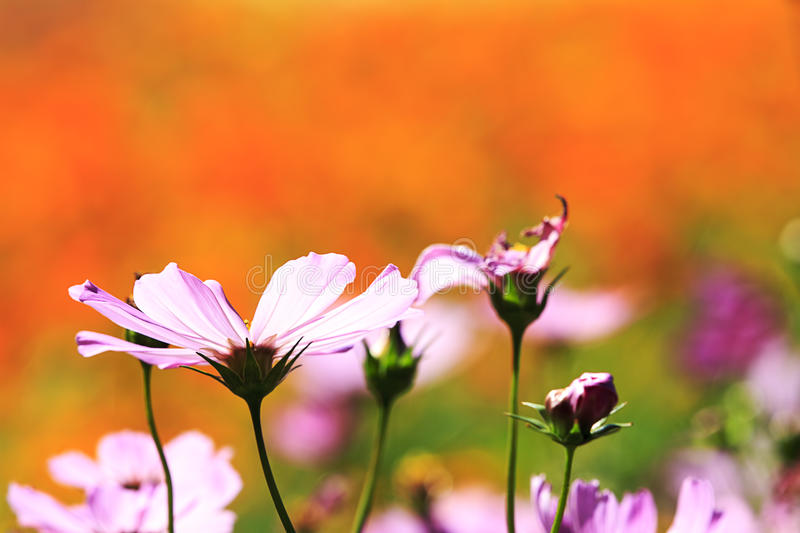 Field of daisy flowers. For adv or others purpose use stock images