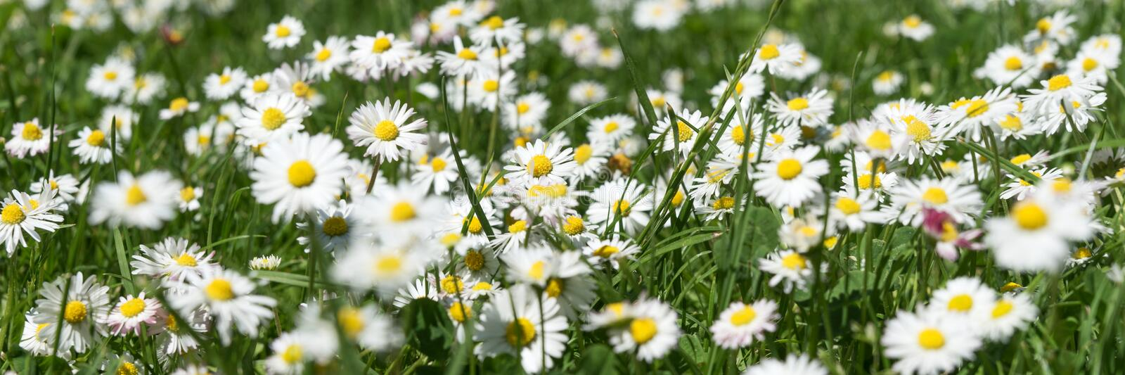 Field of daisy flowers Bellis perennis. In the garden stock photos
