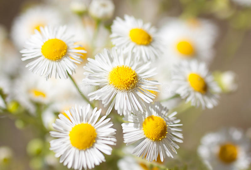 Field daisy flowers. Closeup of beautiful white daisy flowers with soft lighting and bokeh warm summer stock images