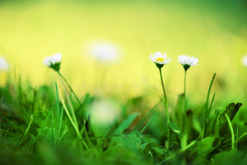 Field of daisy flowers. Fresh green spring grass with sun leaks effect, copy space. Soft Focus. Summer concept. Abstract stock photography