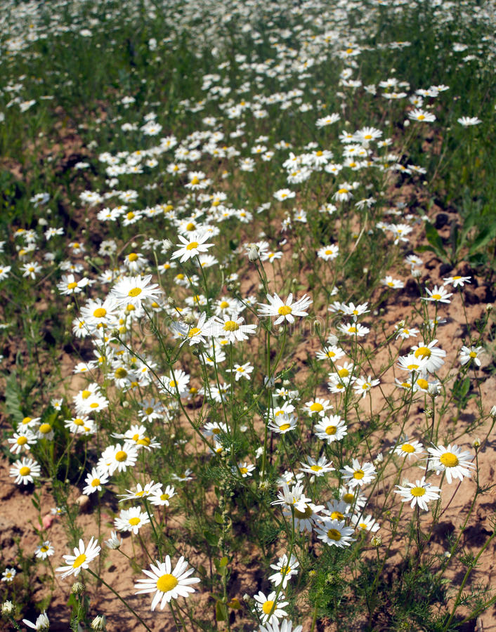 Field with daisy flowers vertical photo closeup stock photos