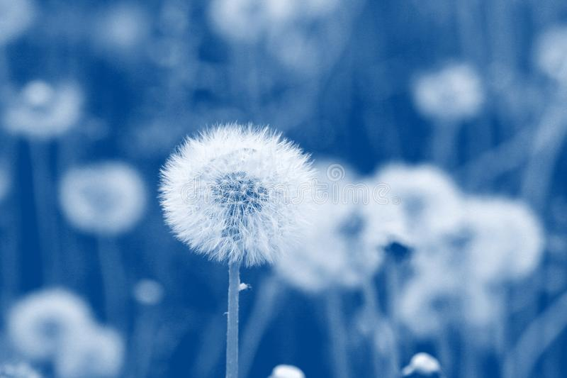 Field of dandelion seeds blowing. stems and white fluffy dandelions ready to blow stock photography