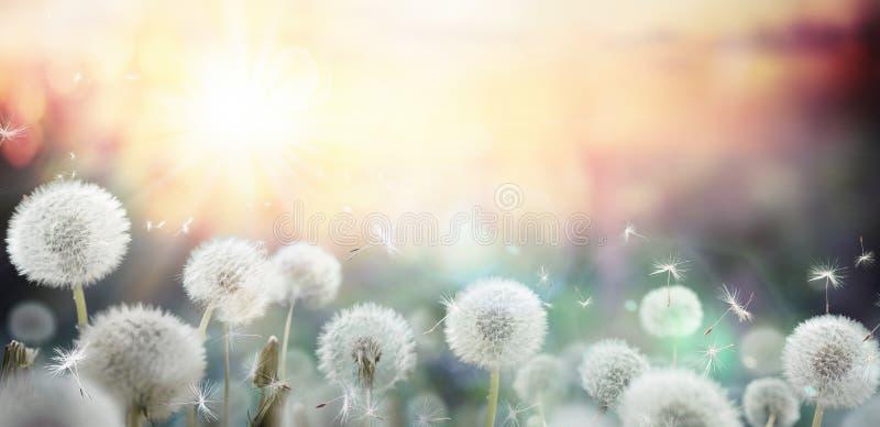 Field of dandelion in sunset stock photo