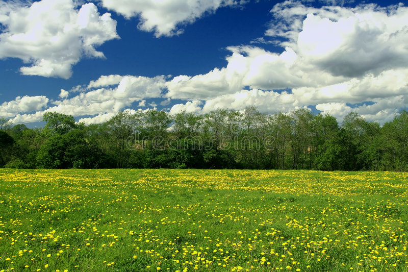Field of dandelions royalty free stock photography