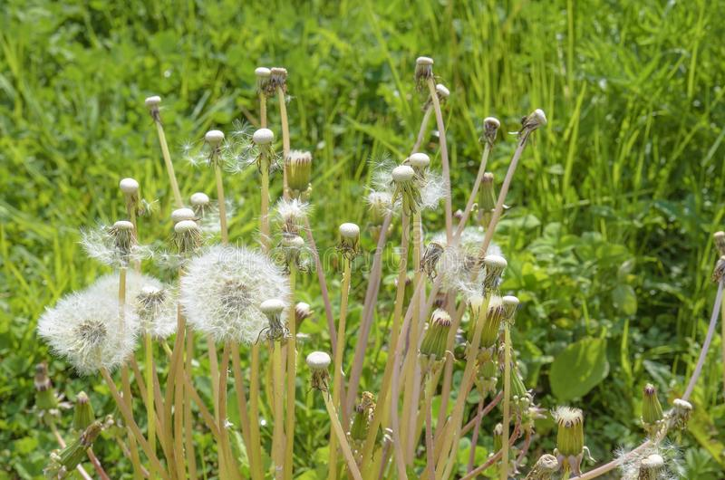 Field dandelions battered by a strong wind. A a a stock photography