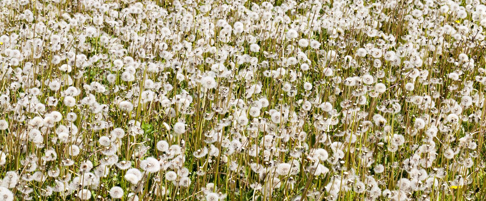 Field of dandelions flowers. Summer field with a lot of growing white balls of dandelions. photo close-up of a meadow in the daytime royalty free stock photos