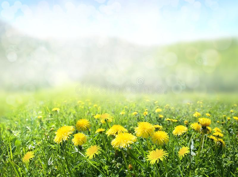 The field of dandelions. Nature background. royalty free stock photo