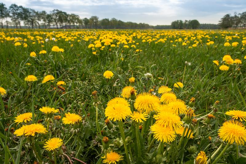 Field of dandelions in the Netherlands. Field of dandelions picture taken in the Netherlands province Overijssel royalty free stock photo