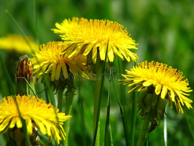A yellow dandelions royalty free stock image