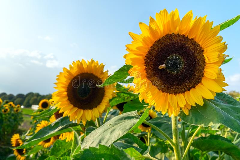 A field with decorative sunflower with orange flowers. Lower Saxony, Germany royalty free stock photos