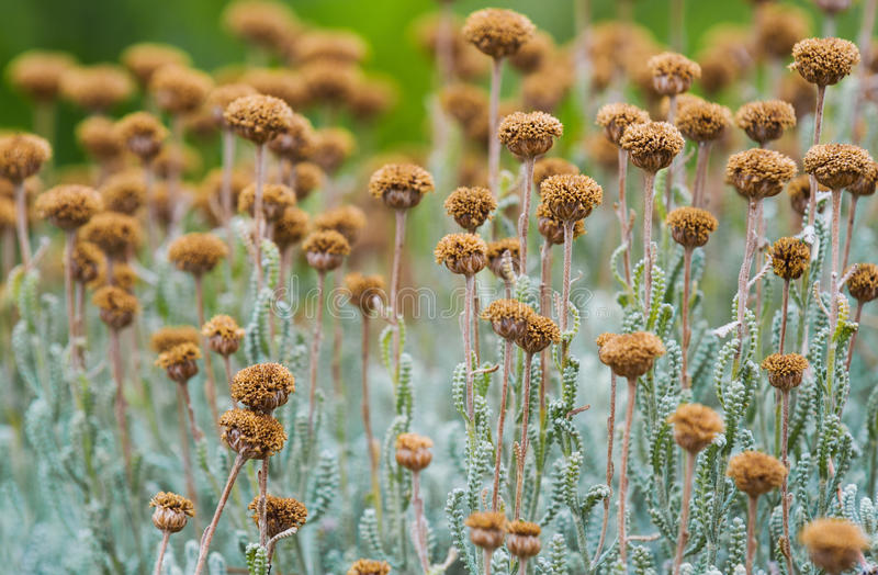 Field with dried santolina flowers royalty free stock images