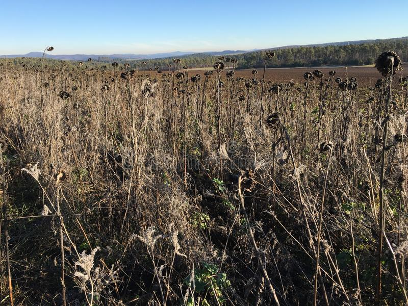 Field of Dry Sunflowers on sunny winter day at Nature Park Eifel, Germany. Field of Dry Sunflowers on sunny winter day with blue sky at Nature Park Eifel royalty free stock images