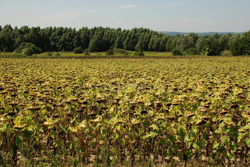 Download Field of Drying Sunflowers stock image. Image of farming - 10711671