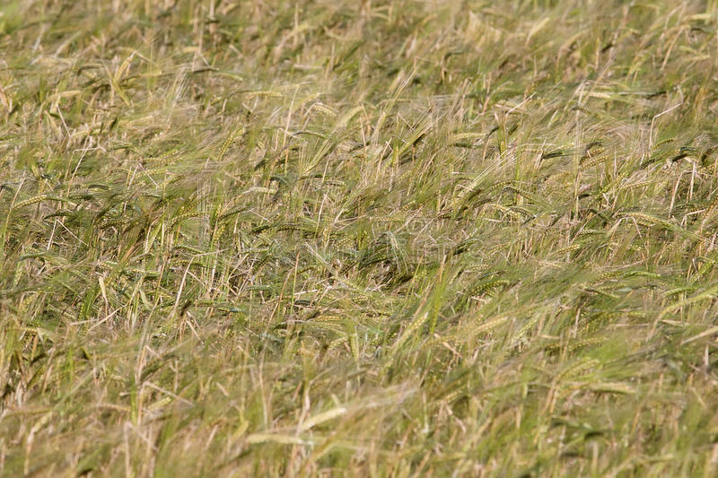Field with ears of wheat swaying. In the wind stock image