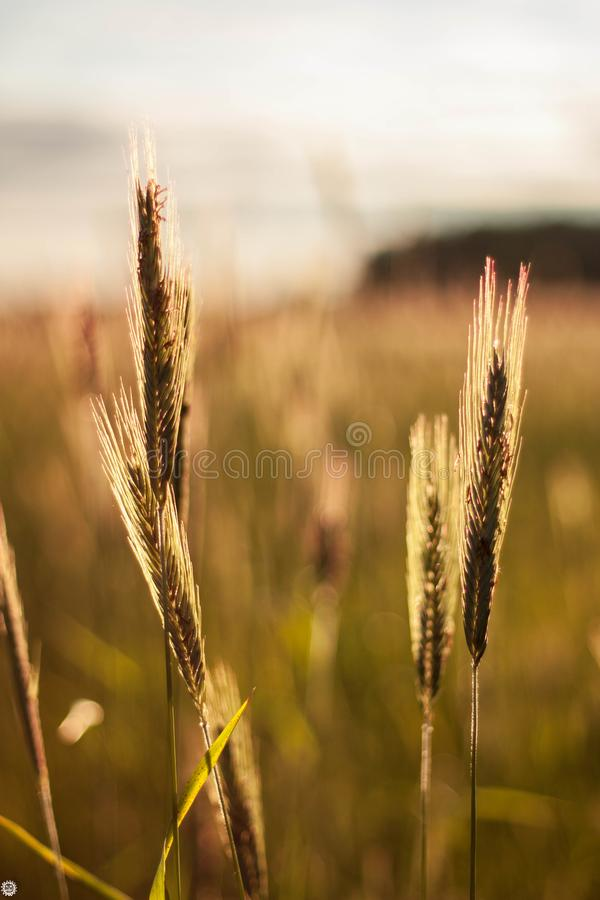 A field with ears of wheat that sways in the wind at sunset stock photo