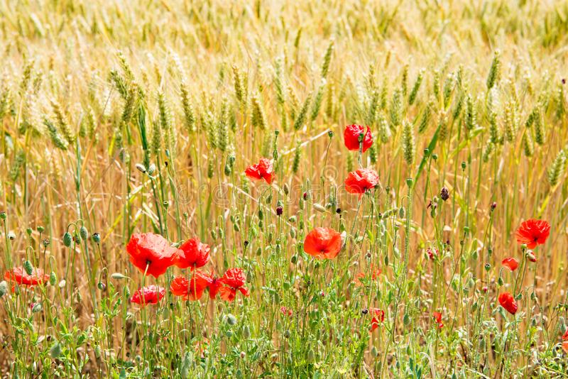 Field edge in summer with flowering poppies royalty free stock photo