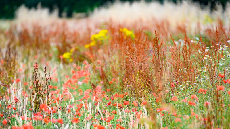Field edge with poppies, wild flowers and herbs. Not with pesticides sprayed field edge. Untreated nature. royalty free stock photo