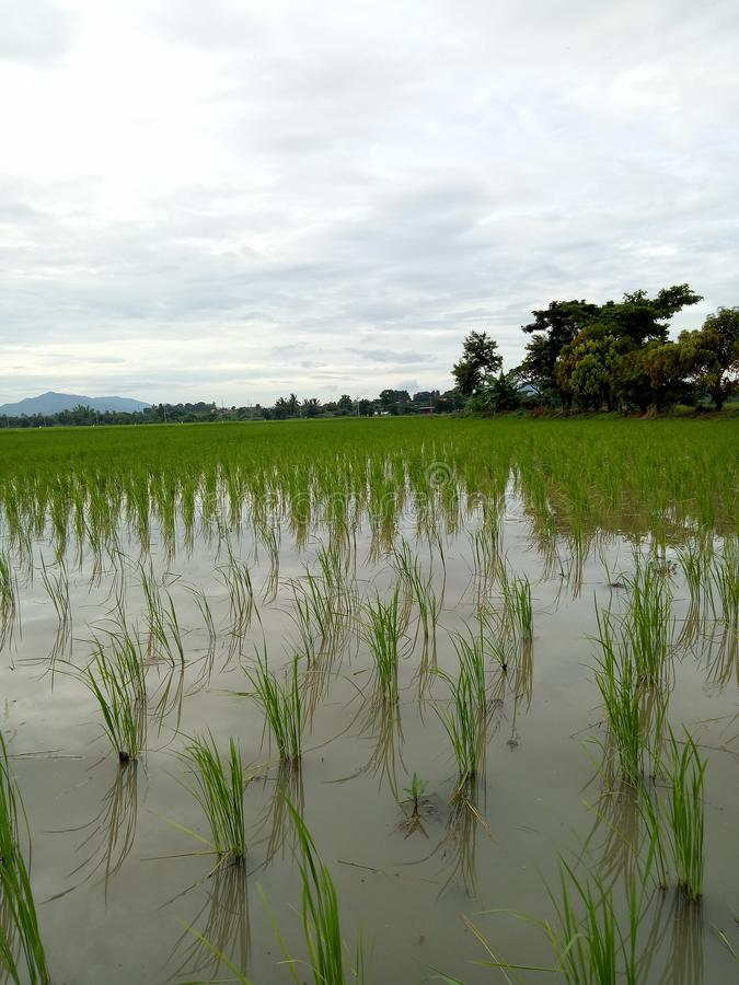 Field farm rice pasture royalty free stock image
