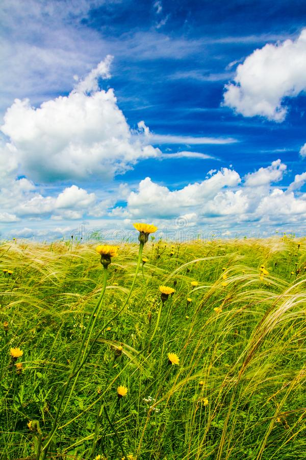 Field with feather grass and yellow flowers royalty free stock photos