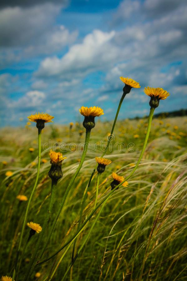 Field with feather grass and yellow flowers stock image