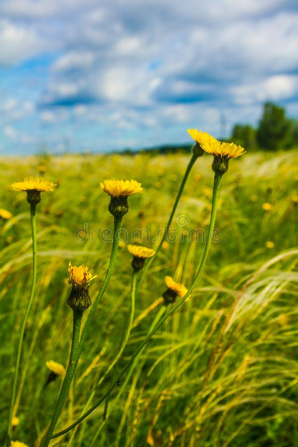 Field with feather grass and yellow flowers stock photo